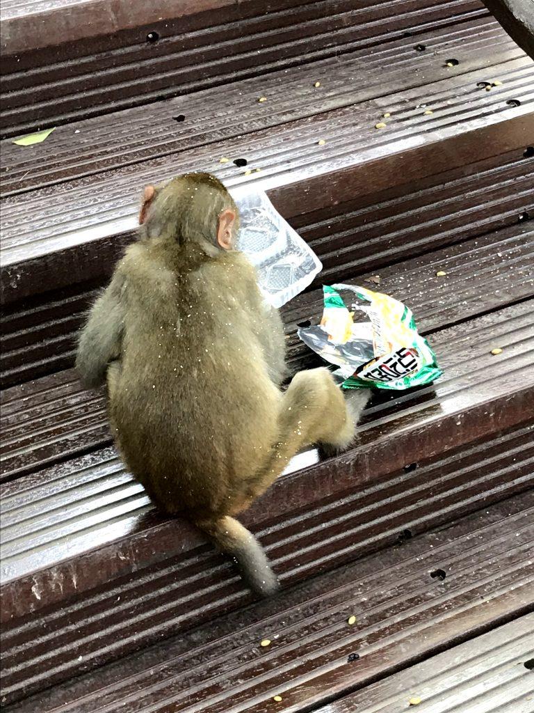 la scimmia mangia le patatine datele dai turisti, lasciando la mondezza nel parco