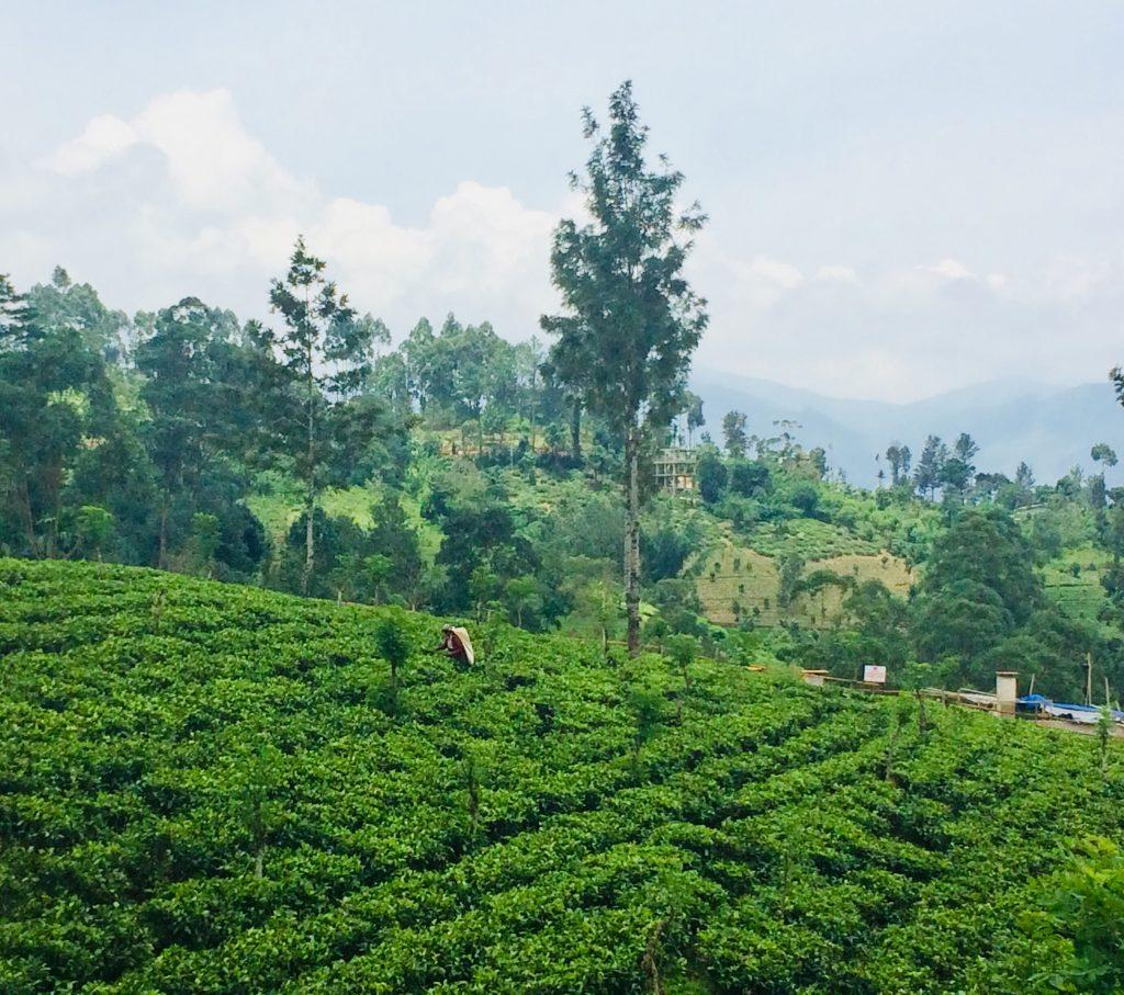 Piantagioni di tè nel nostro itinerario di 13 giorni in Sri Lanka