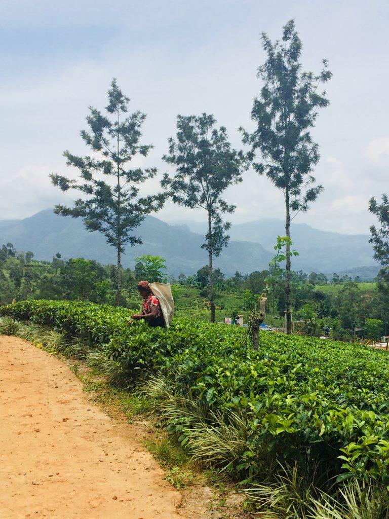 Raccoglitrici difoglie del  tè nel nostro itinerario di 13 giorni in Sri Lanka